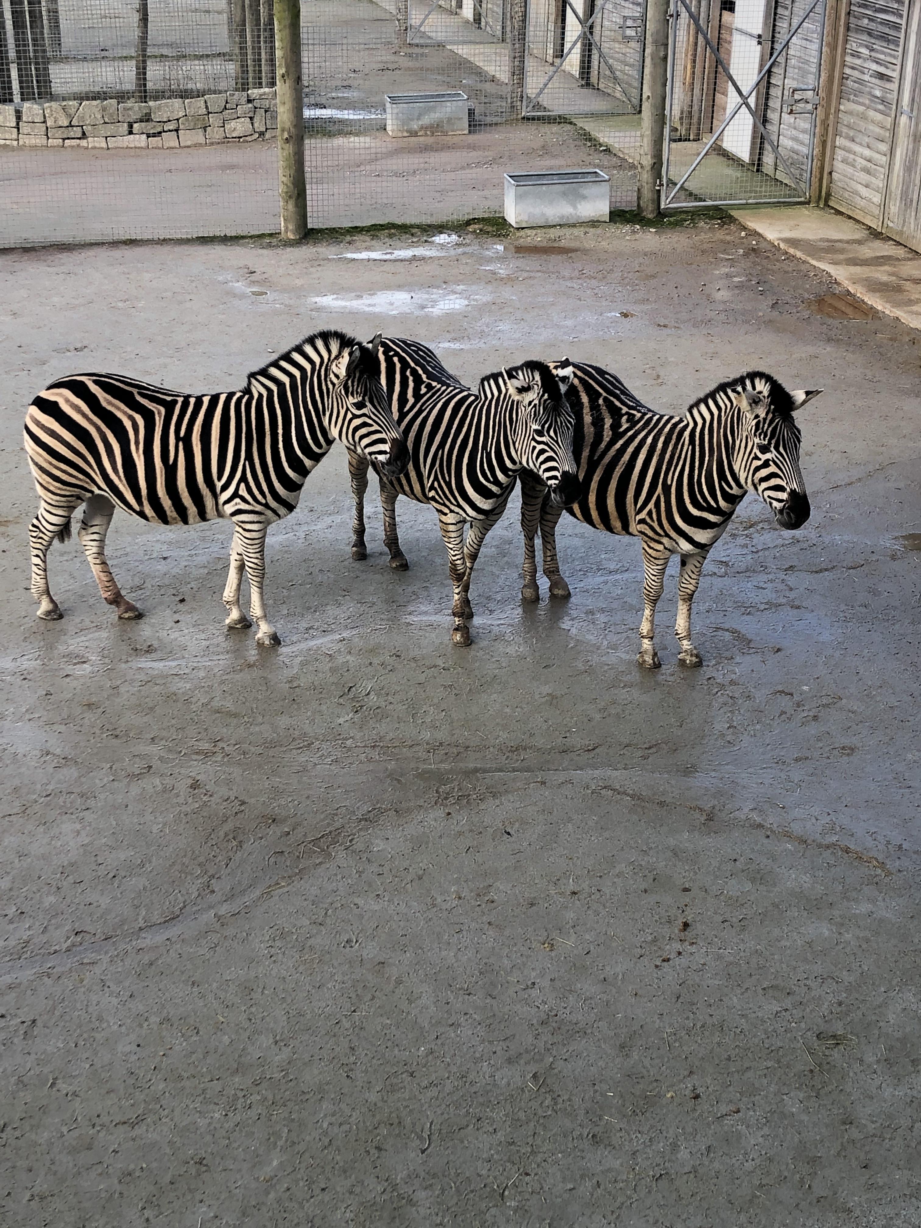 Newquay-zoo-zebra