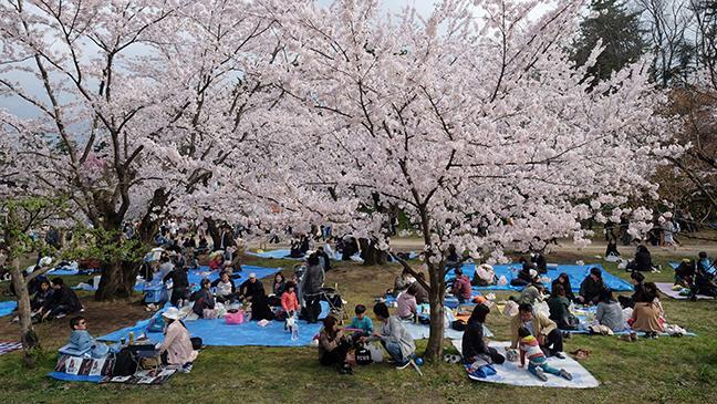 Japanese blossom tree